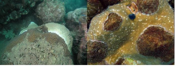 ปะการังดาวใหญ่