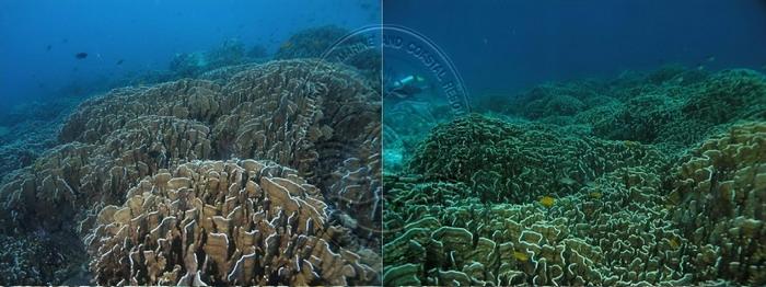 แนวปะการังสีน้ำเงิน (Heliopora coerulea)