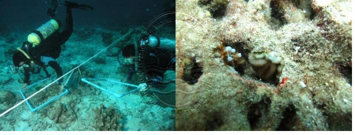 นักวิจัยสำรวจปะการังวัยอ่อน